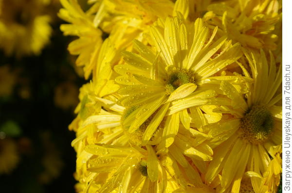 Хризантема сорт Золотинка