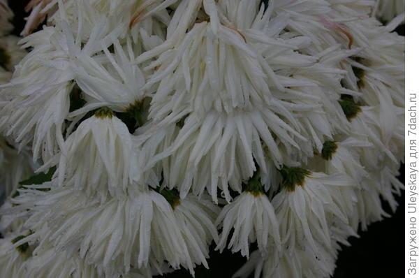 Хризантема сорт Белянка