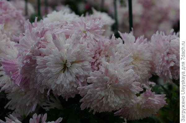 Хризантема сорт Аннушка