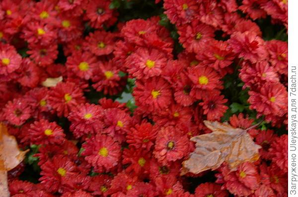 Хризантема сорт Blooming Beauty Red