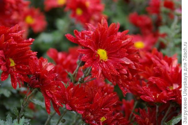 Хризантема сорт Краски Осени