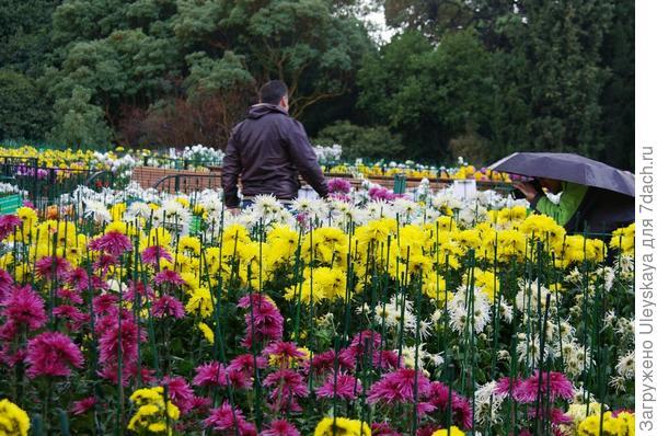 В объективе хризантемы, а все остальное не важно