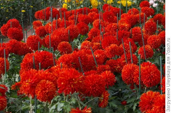 Хризантема сорт Escort Rot