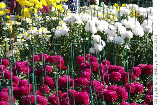 Цветут хризантемы в Никите