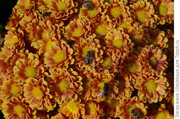 Хризантема сорт Dayon