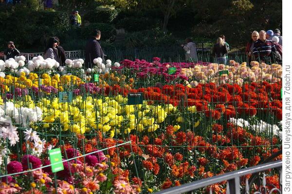 Хризантемы крупными штрихами