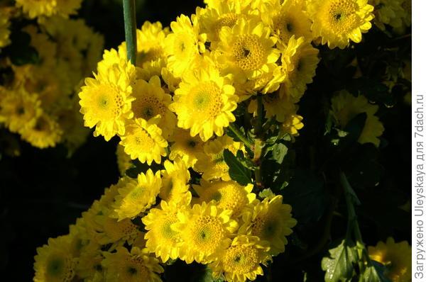 Хризантема сорт Puma Yellow