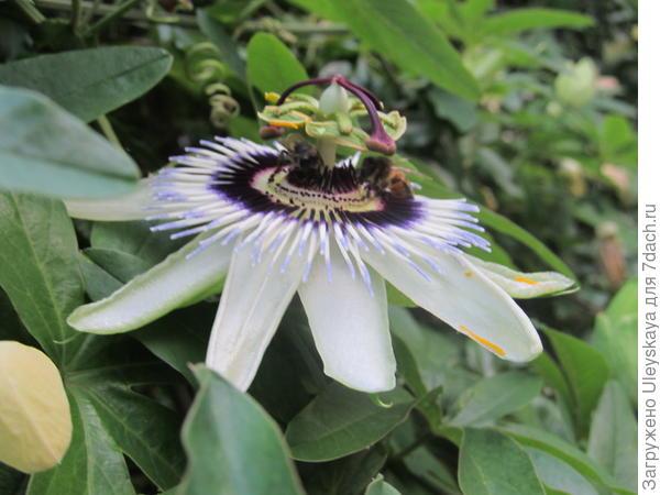 Цветок пассифлоры голубой