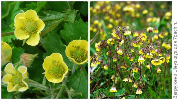 Гравилат речной сорт Lemon Drops, фото сайтов Plant World Seeds и www.gapphotos.com