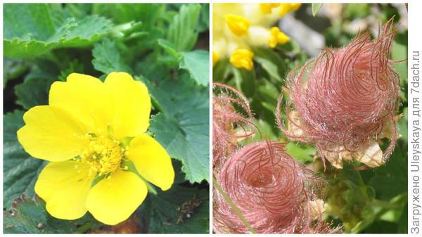 Гравилат горный в цветении, фото сайта www.floraprice.ru и в плодоношении, фото сайта ЛАБОРАТОРИЯ БИОТЕХНОЛОГИИ РАСТЕНИЙ