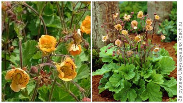 Гравилат речной сорт Coppertone, фото сайтов Elmlea Plants и Pinterest