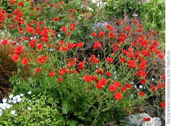 Гравилат чилийский, фото сайта plantsvideoworld.ru
