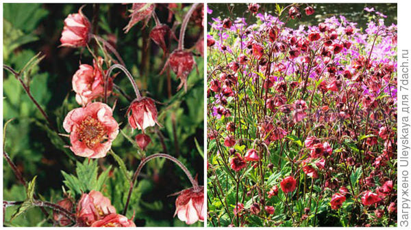 Гравилат речной сорт Leonards Variety, фото сайтов Royal Horticultural Society и Alamy