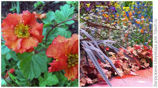 Гравилат чилийский сорт Fire Opal, фото сайта Avondale Nursery и этот же сорт в композиции, фото сайта GAP Photos