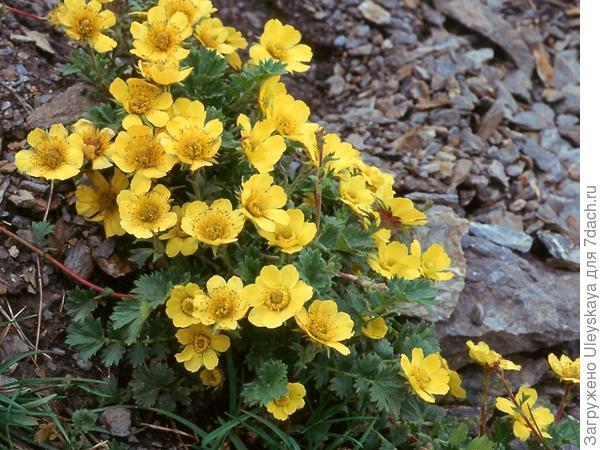 Гравилат ползучий в цветении, фото сайта www.stridvall.se