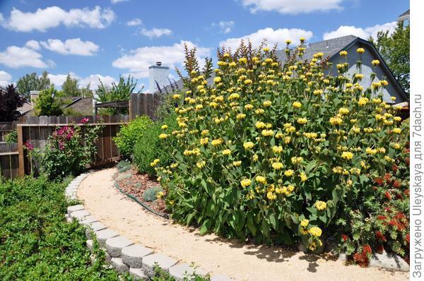 Зопник кустарниковый солитер, фото сайта PlantMaster