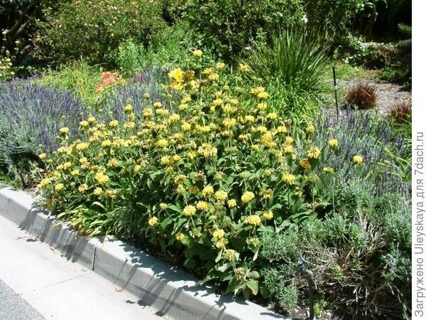 Зопник кустарниковый в миксбордере с шалфеями, фото сайта Water-Wise Gardening in Santa Cruz County