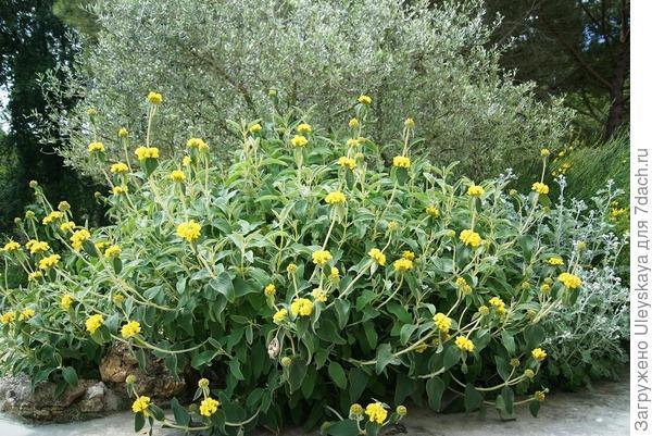 Зопник кустарниковый в цветении, фото сайта hortibus.blogspot.com