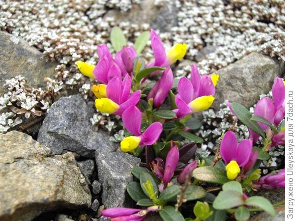 Истод самшитовидный var. grandiflora, фото сайта Wikimedia Commons