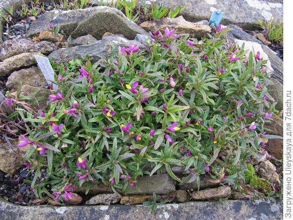 Истод самшитовидный var. purpurea, фото сайта Flickr