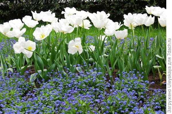 Белые тюльпаны и незабудка эффектны только в цветении
