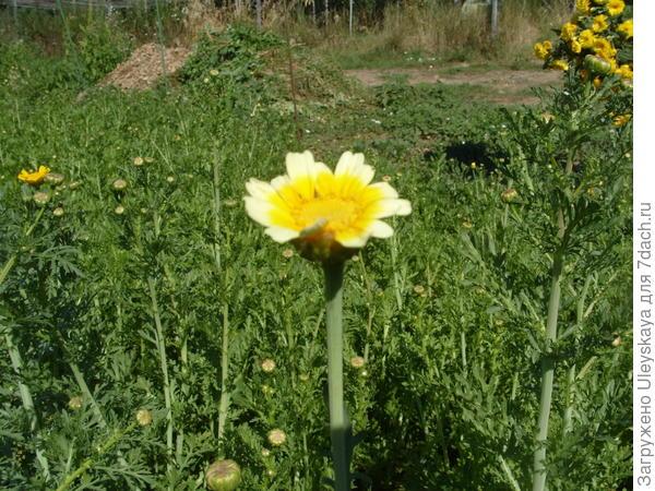 Хризантема увенчанная, начало цветения