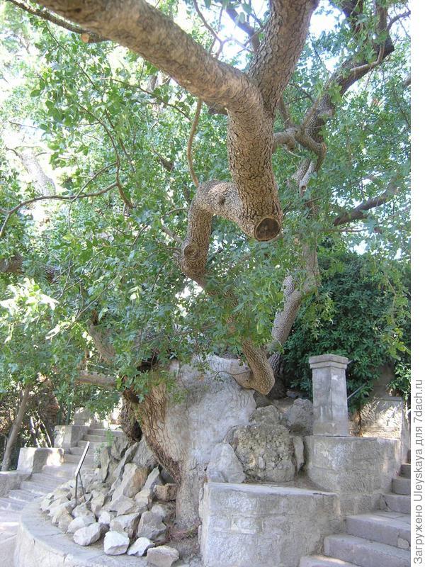 Фисташка туполистная, 1000 лет