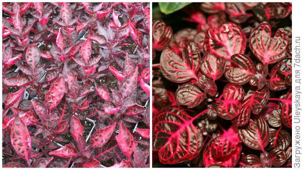 Ирезина Хербста сорта Brilliantissima, фото сайта Online Plant Guide<br /> и Wallisii, фото сайта Wisdom