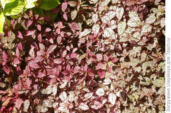 Гипоестес или гепестес листоколосковый с окрашенными листьями