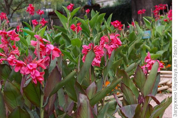 Цветут краснолистные канны