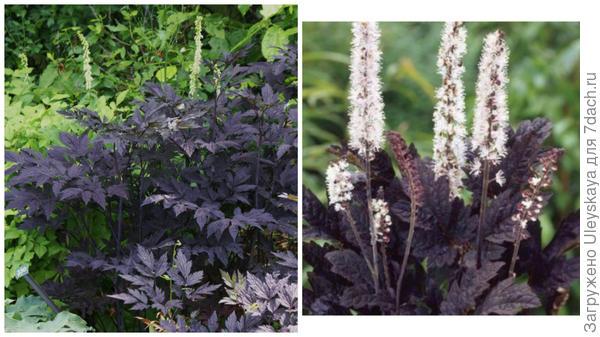 Цимицифуга простая Brunette фото сайта Plant Lust и она же в цветении, фото сайта Главная