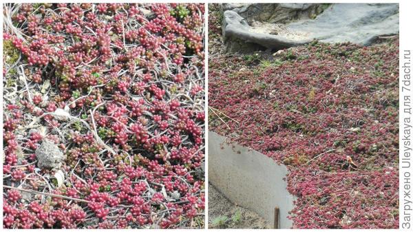 Очиток белый Coral Carpet