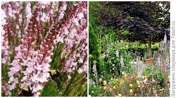 Льнянка пурпурная Canon Went, фото сайта Pinterest и она на переднем плане, фото сайта Garden World Images