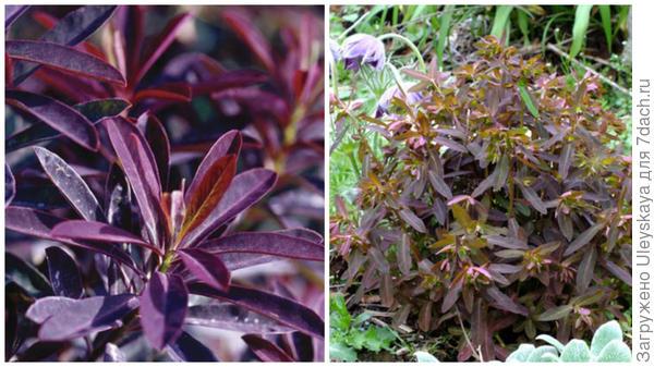 Молочай сладкий Chameleon, фото сайтов Fine Gard и Dorset Perennials