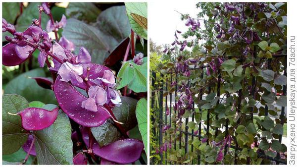 Долихос сорт Ruby Moon крупным планом, фото сайта Seed Savers Exchange и на заборе, фото сайта Pinterest