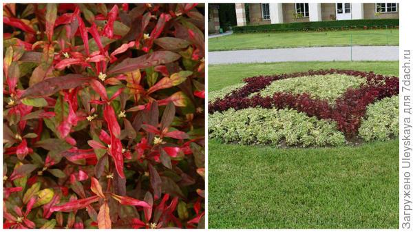 Альтернантера разноцветная крупным планом, фото сайта Floravera и ее участие в рисунке клумбы на партере в моем объективе