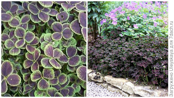 Клевер ползучий Purpurascens Quadrifolium, фото сайтов Primrose и Right Plants 4 Me