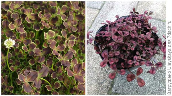 Клевер ползучий Purpurascens фото сайтов Cotswold Garden Flowers и 【楽天市場】 ショップ一覧