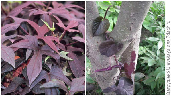 Ипомея батат сорт Blackie, фото сайта Fine Gardening и неопознанная ипомея с пурпурными листьями, фото Светланы (Samdolis)