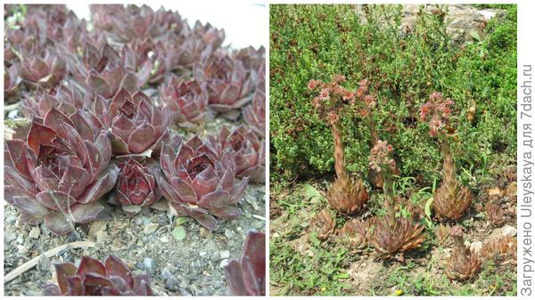 Молодило до и в период цветения