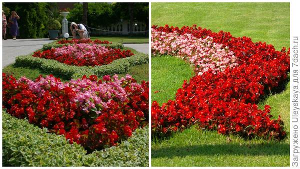 Бегония вечноцветущая краснолистный сорт участвует в рисунке клумбы и арабески на партерном газоне