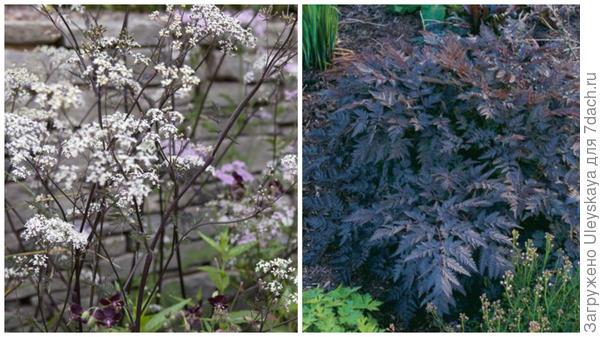 Купырь лесной сорт Ravenswing, фото сайтов Gardeners World и Fine Gardening