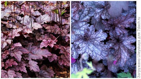 Гейхера мелкоцветковая сорт Palace Purple, фото сайта GAP Photos и гейхера гибридная Pewter Moon, фото сайта Right Plants 4 Me