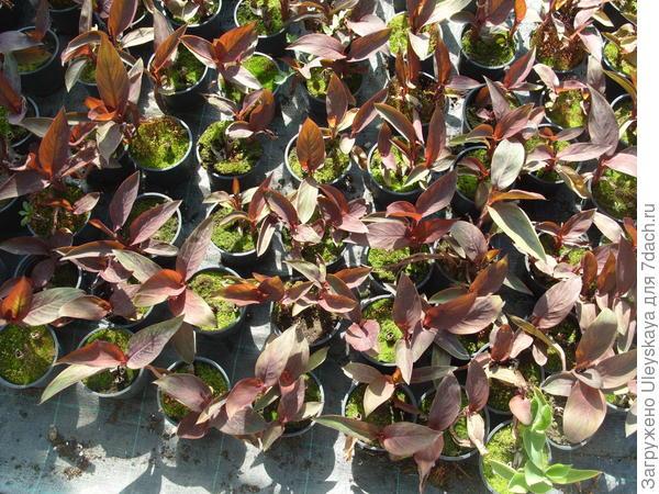 Сеянцы канны садовой
