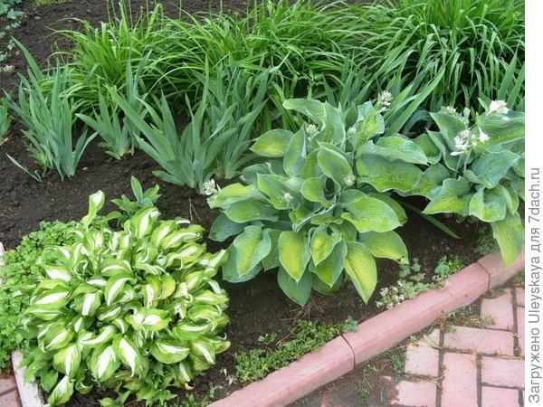 Контраст формы листьев хост и ирисов