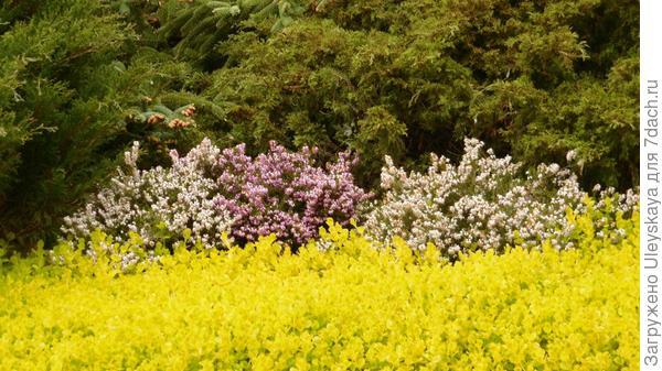 Эрика травяная играет главную роль с осени