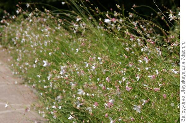 Гаура Линдхеймера цветет все лето
