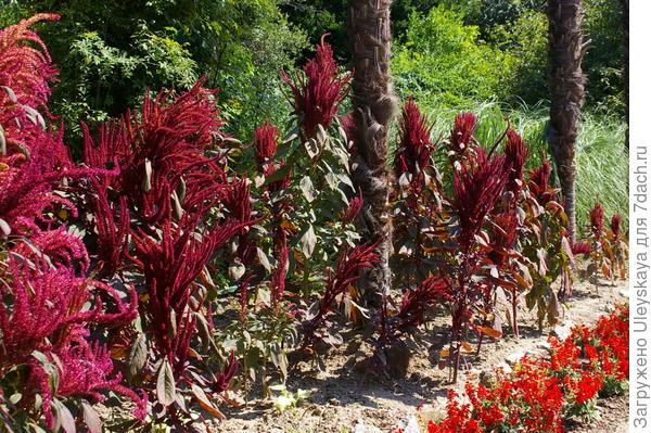 Цветение амаранта метельчатого, плавно переходящее в плодоношение, делает его доминантой и в период плодоношения