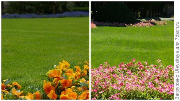 В сезонных цветниках растения заменяются, например фиалка Виттрока на петунию гибридную