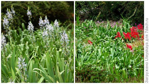 Камассия весной в цветении и она же летом в композиции после него
